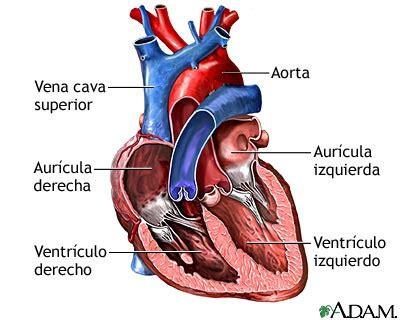 imagenes de corazones organo fotos el coraz 243 n y sus partes fotos e im 225 genes en