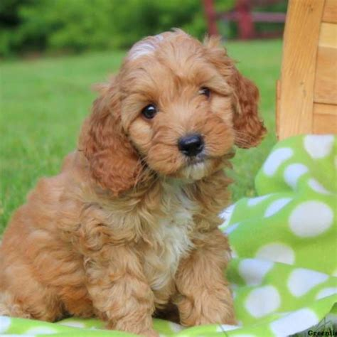 cockapoo puppies for sale in cockapoo puppies for sale cockapoo breed info greenfield puppies