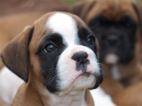 puppies for sale 50 dollars and white boxer puppies for sale free engine image for user manual
