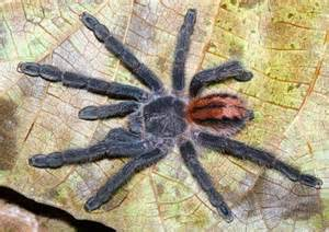 colorful tarantulas tarantula pictures colorful new species discovered