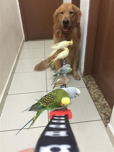 golden retriever with birds bob the golden retriever bird whisperer 11 171 twistedsifter