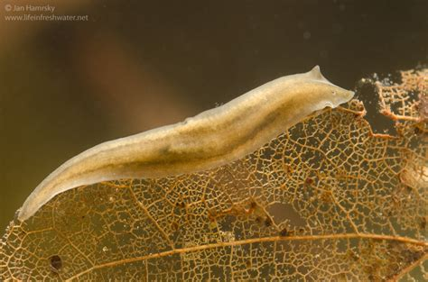 flatworm in flatworms dugesiidae in freshwater