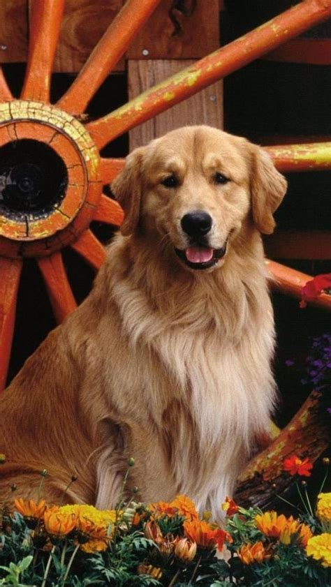 bruce weber golden retrievers golden retrievers