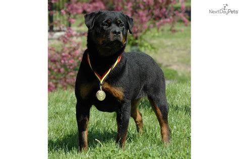 puppies for sale iowa puppies for sale from arduser rottweiler iowa 515 689 9091 member since october 2008