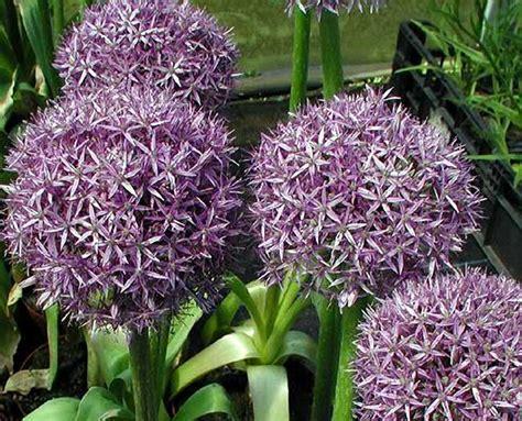 piante fiorite da giardino perenni piante perenni 32 variet 224 per bordura giardino balcone