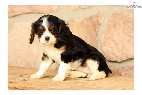 king charles cavalier puppies for sale near me cavalier king charles spaniel puppy for sale near lancaster pennsylvania 1a90eeff 0f61
