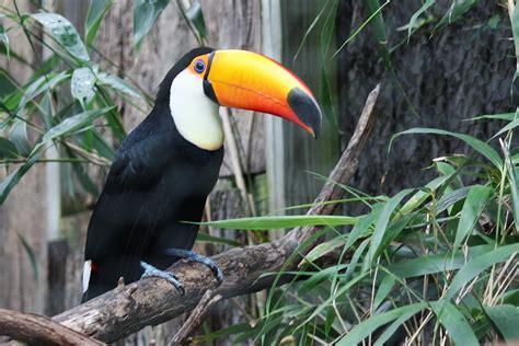 Toucan L by Photo Gratuite Toucan Oiseau Jungle Zoo Image