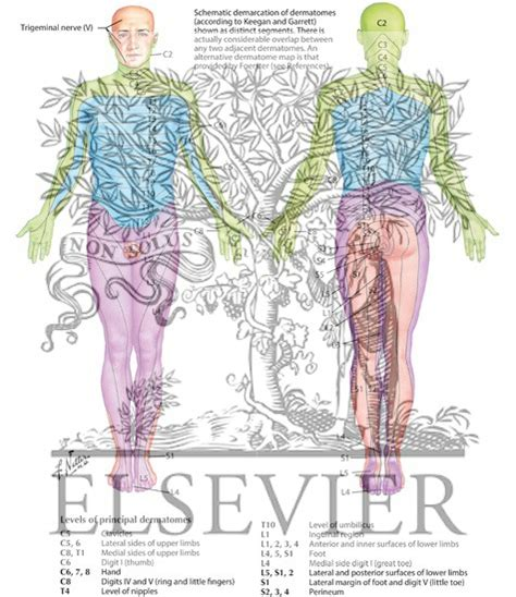 frank netter anatomy coloring book dermatomes dermal segmentation