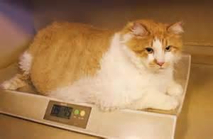 meet garfield world s fattest cat as lazy as cartoon namesake slideshow