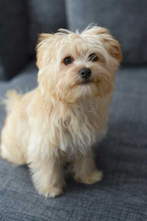 images morkies morkie dog breed 187 everything about morkies