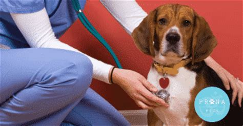 respiratory infection in dogs prana pets