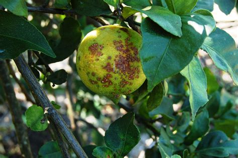 When Should I Plant Fruit Trees - texans asked to help keep citrus canker in check agrilife todayagrilife today