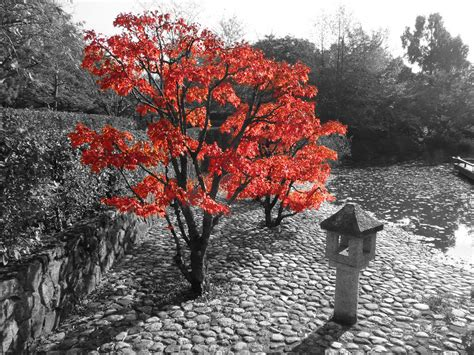 black and white photo with color downy japanese maple feel free to use the image in