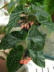 salmon rubra angel wing begonia post acropaliptic