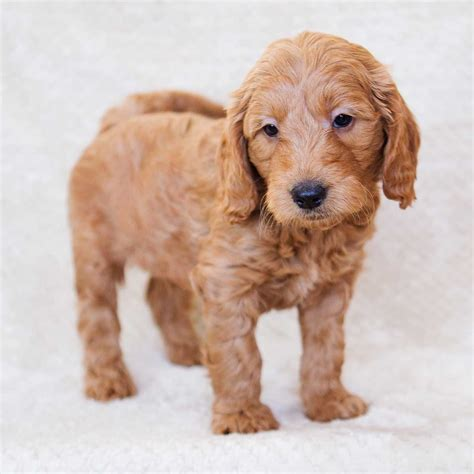 mini doodle michigan goldendoodle puppies goldendoodle mini