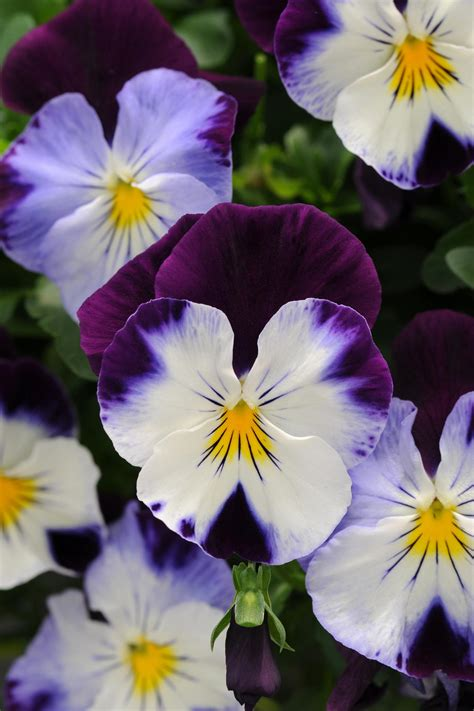 pansy colors winter pansies hgtv