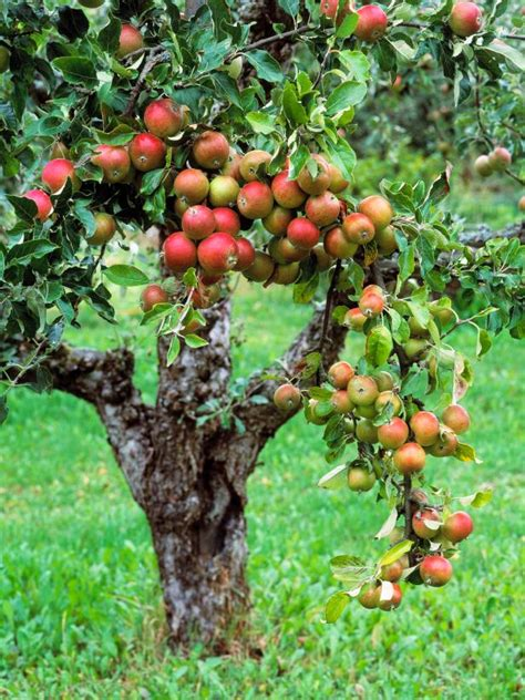 hybrid fruit tree plant a tiny orchard hgtv