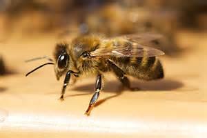 mellifica 187 des hym 233 nopt 232 res 224 l abeille