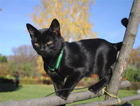 Bombay cat: care, behavior, personality, pictures and video