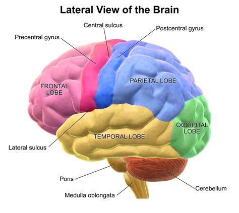 the human frontal lobes third edition functions and disorders science and practice of neuropsychology books lob some lobes in the ultimate brain battle