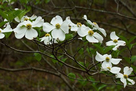 north carolina flower dogwood state symbols usa