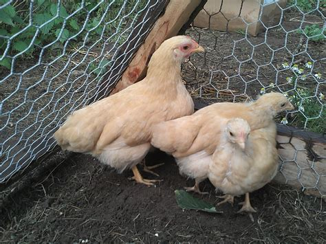 black plymouth rock plymouth rock bantam for sale chickens breed