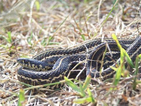 Garden Snake Ohio Eastern Plains Garter Snake Thamnophis Radix Wyandot