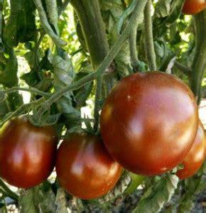 Benih Tomat Black King benih tomat black king