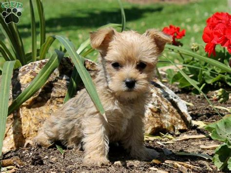 greenfeild puppies yorkie puppies for sale greenfield puppies breeds picture