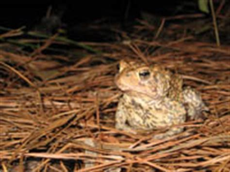 houston toad habitat map endangered species program about us featured species