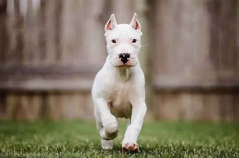dogo argentino puppy 20 dogo argentino puppies photos the bully breeds