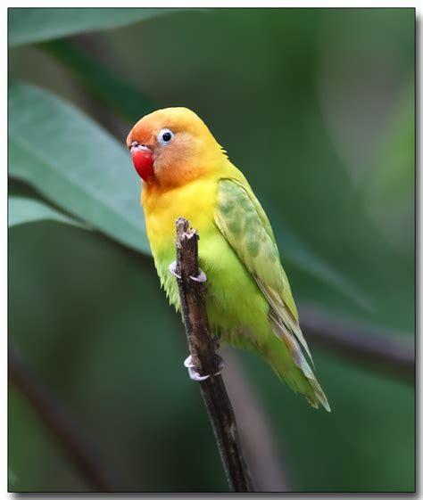 lilian s lovebird photo doug j photos at pbase com