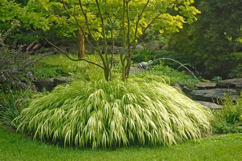 hakonchloa macra hakone grass golden japanese forest