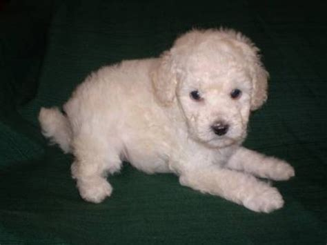 poodle puppies for sale poodle puppies for sale bishop auckland county durham pets4homes