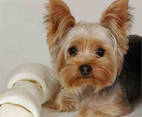 dogs for sale in ny yorkie puppies for sale island ny breeds picture