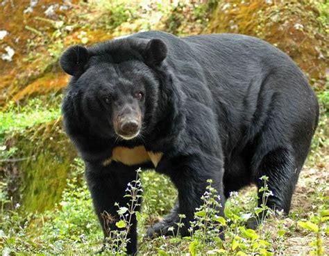imagenes oso negro oso negro asi 225 tico medio ambiente