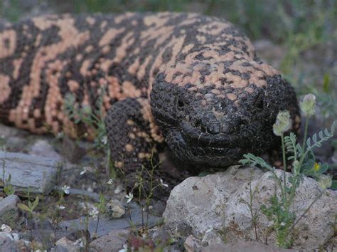 Gila Monster Ready For It S Genomic Close Up The Gila House