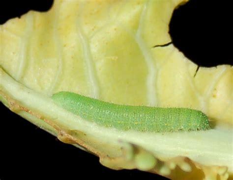 Worms In Vegetable Garden Caterpillars In The Vegetable Garden Part I