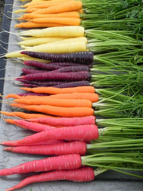 carrot colors variety highlights a rainbow of carrots osborne seed