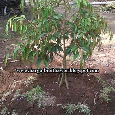 Pupuk Dolomit Untuk Durian cara budidaya durian