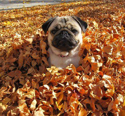 puppy fell on fall image 653821 on favim