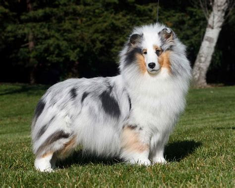 pictures of sheltie puppies sheltie breed posing on forest background wallpapers and images wallpapers