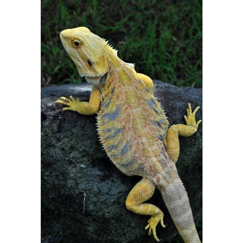 Heat L For Bearded Dragons by Bearded Heat L Times 28 Images How Turning Up The Heat