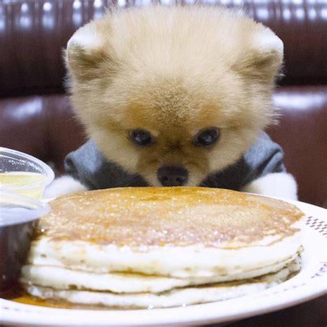 jiff the pomeranian jiff the pomeranian is the cutest foodie on instagram 123 inspiration