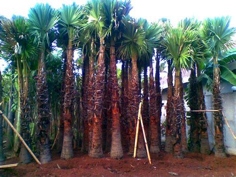 Jual Bibit Buah Naga Di Bogor jual pohon palem di bogor