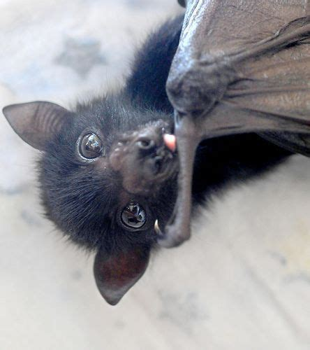 cute baby flying fox bat 17 best images about bats in my belfry on pinterest