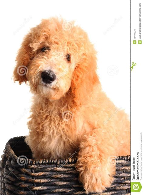 goldendoodle puppy free goldendoodle puppy royalty free stock photos image 15494328