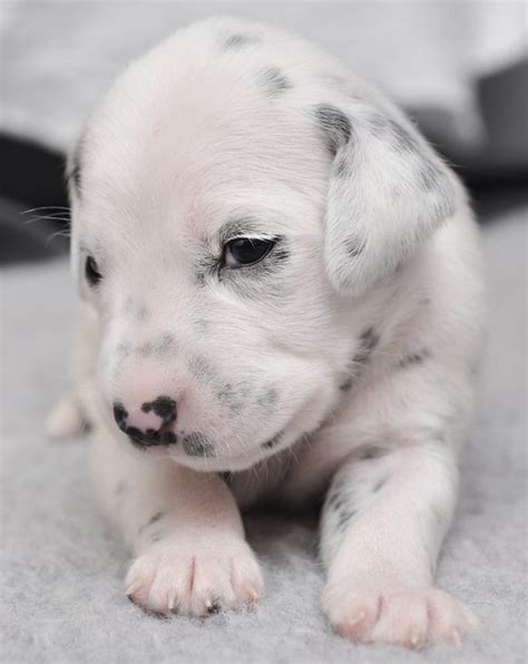 baby puppies newborn puppies cuteness overflow