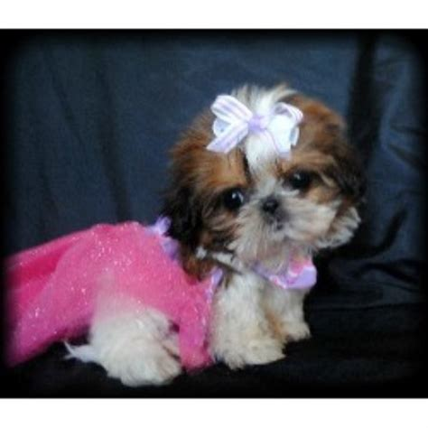 baby shih tzu adoption shih tzu breeders in california freedoglistings