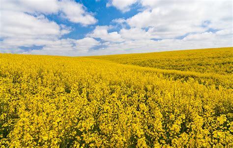 Idaho State Flower - canola fields